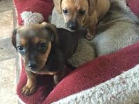 We have two little 8 week old Chiweenie Puppies left