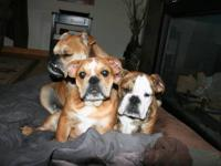 These puppies are 3/4 English Bulldog 1/4 Bug (Boston