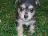 Description I have one female 3/4 Yorkie. She is very