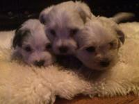 Maltese morkie puppies,home raised,vet checked This ad