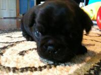 This little guy is a 3/4 pug. All black with a small
