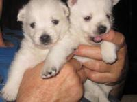 Here are 4 Beautiful 3/4 Westie Puppies Available,