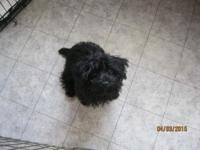 5 month old puppy 3/4 Yorkie 1/4 Poodle 7 pounds. Born