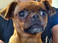 I have a 3-4 yr old female tan puggly min pin. She's a