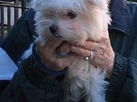 Teddy bear face Maltese puppy for rehoming. 3.5 months