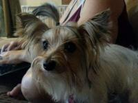 Tiny, 3.5lbs Full Parti Yorkshire Terrier Female. I
