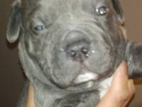 I have 3 American Pitbull Puppies (Razors Edge