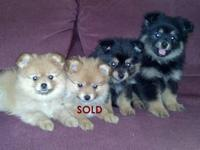 I have 3 extremely adorable, playful Pom puppies that