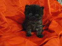 Adorable CFA Registered Persian Kittens, 6 weeks old, 2