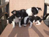 I have three adorable female black and white chihuahuas