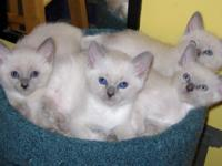 We have 3 male Siamese/Balinese kittens out of litter