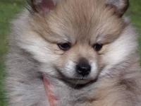 Hi I have 3 adorable purebred male Pomeranian pups that