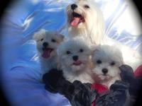 Three cute Maltese young puppies female very first and