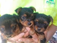 I have 3 adorable toy Yorkie pups looking for great