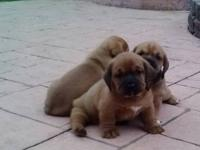 I am selling 3 adorable Victorian Bullhounds. All