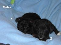 8 weeks aged. 1 girl and 2 males offered. Male 1 has