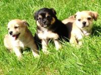Fluffy and Adorable Pomchis these young puppies are to