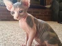 I have 2 adult females and 1 adult male sphynx cats.