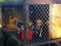 3 AKC Beagle puppies. 2 males $300 1 female. $400.00