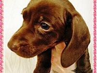 ** We have 3 new smooth doxie pups ** Wormed,