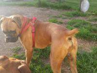 2 males and 1 female fawn boxer pups looking for their