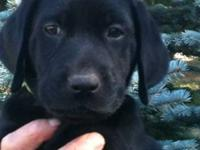 3 Certified Pedigree Labrador Retriever Puppies 1