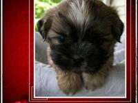 Well socialized Akc male puppys , born on 5/10/2012
