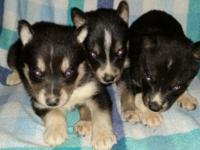Three black and white female young puppies. Ready