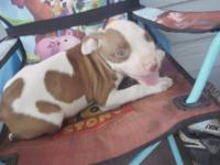 I have 6 American Red Nose Pitbull puppies born on