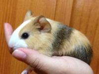 I have three male baby guinea pigs for sale . They are