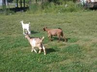 3 baby goats for sale. 2 female boer goats gorgeous