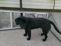 3 beautiful black lab beagle mixes are looking for GOOD
