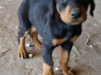 I have 3 doberman puppies left ready to go to a good