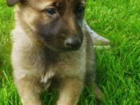 Beautiful Female German Shepherd puppies. AKC