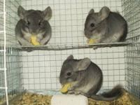 Need to rehome my 3 female chinchillas ASAP!! They must