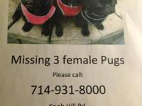 Nov. 15th in Baldwin Lake, CA 3 female black pug