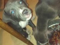I have 3 ADBA registered pitbull puppies. Every one of