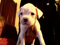I have 3 BOXER PUPPIES LEFT! 2 all white males, and 1