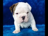 English bulldog puppies all 3 months old now, they have