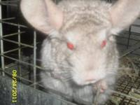I Have 3 Chinchillas 2 Are A Pair Standard Gray-