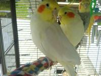 Hi, I own 3 cockatiels. And am currently looking to