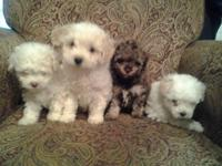3 little mini poodle puppies: 1 white male $200, 1
