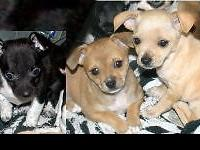 Chihuahua puppy's the Black/White one and cream colored