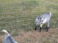 I have a pygmy doe she is a paint $45 I have a pygmy