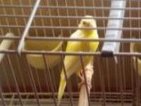 Beautiful yellow female canaries mixed with white, the