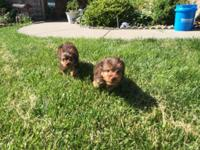 3 Adorable Female Yorkshire Terriers offered. AKC