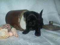 I have 3 shih Tzu Puppies left 2 brown little girls 1