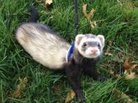 I have 3 VERY Friendly & Lovable Ferrets Up FOR SALE
