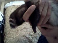 3 ferrets, one male sable (Bear),one female sable