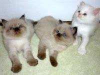 Three beautiful Himalayan male kittens by CFA